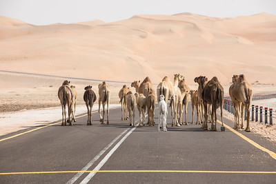 A herd of camels walking on the road.