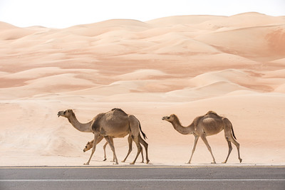 Camels walking along an asphalt road.