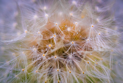 Dandelion Close Up
