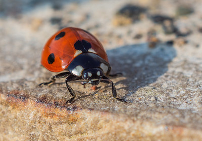Ladybird on concrete