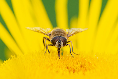 Hoverfly on a yellow flower macro