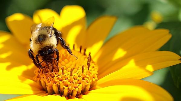 Sunny Bee (1)