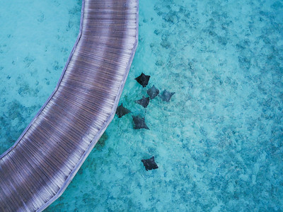 Aerial view of eagle rays.