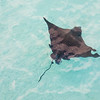 Eagle ray swimming in coastal waters.