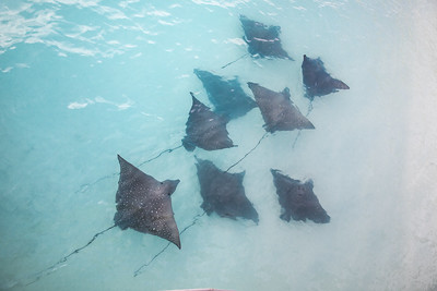 Eagle rays swimming in coastal waters.