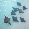Eagle rays swimming in coastal waters.