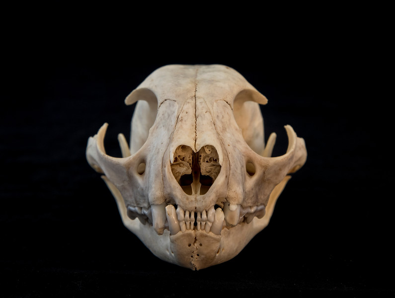 Anterior View Female Lynx Skull