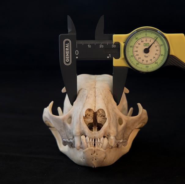 Interorbital Distance is the Key to Discerning a Lynx Skull from a Bobcat Skull
