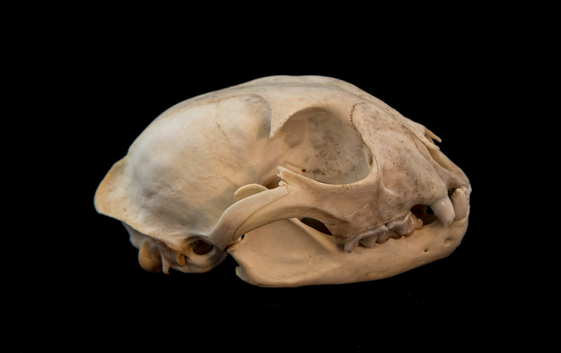 Lateral View Female Lynx Skull