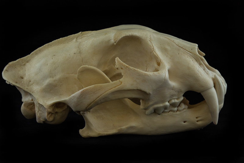 Lateral View Male Leopard Skull
