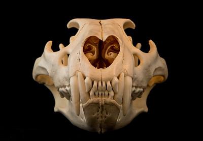 Anterior View Female African Lion Skull