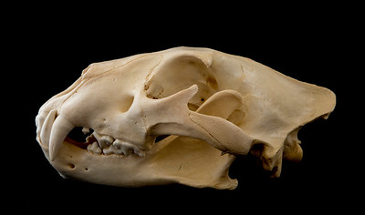 Lateral View Female African Lion Skull