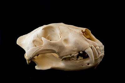 Female African Lion Skull