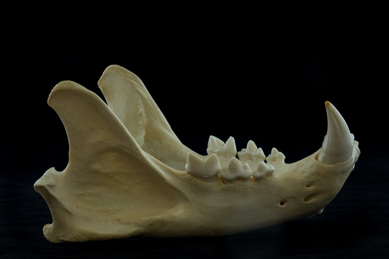 Lateral View Male African Lion Mandible