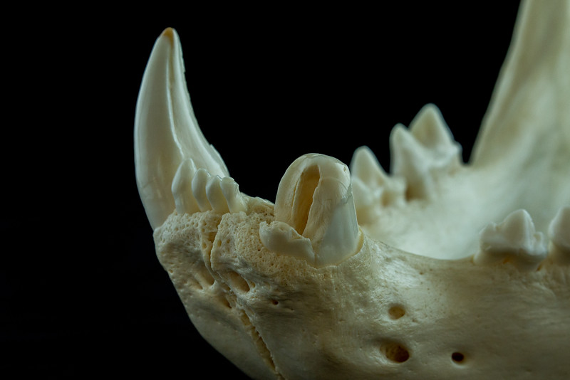 Naturally Fractured Mandibular Canine Male African Lion Skull