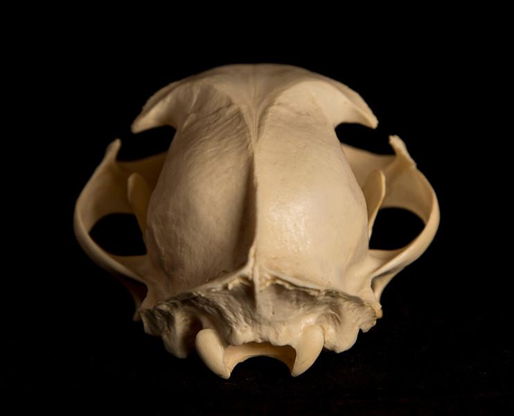 Posterior View Male Bobcat Skull