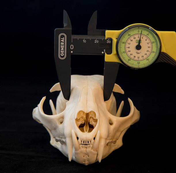 Interorbital Distance is the Key to Discerning a Bobcat Skull from a Lynx Skull