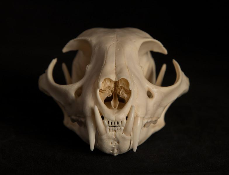 Anterior View Male Bobcat Skull