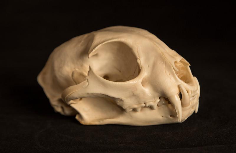 Male Bobcat Skull