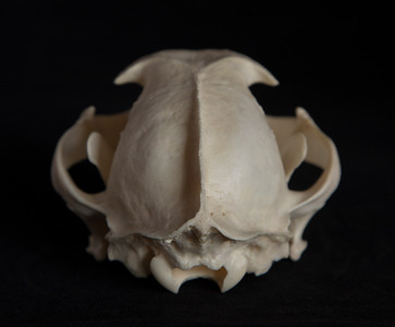 Posterior View Male Caracal Skull