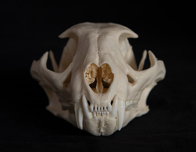 Anterior View Male Caracal Skull
