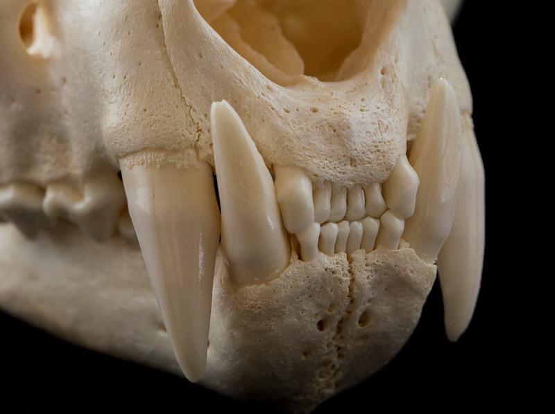 Anterior Dentition Male Mountain Lion