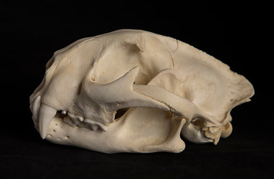 Lateral View Male Mountain Lion Skull