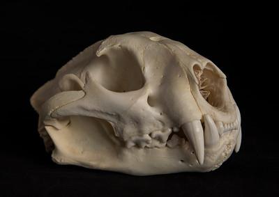 Male Mountain Lion Skull
