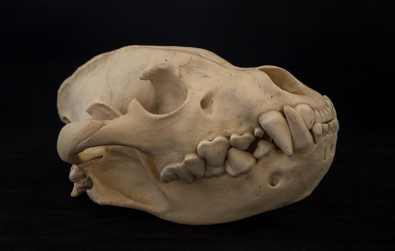 Brown Hyena Skull