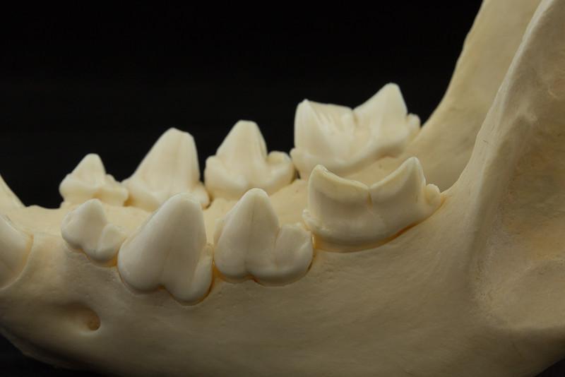 Lateral View Spotted Hyena Posterior Mandibular Teeth