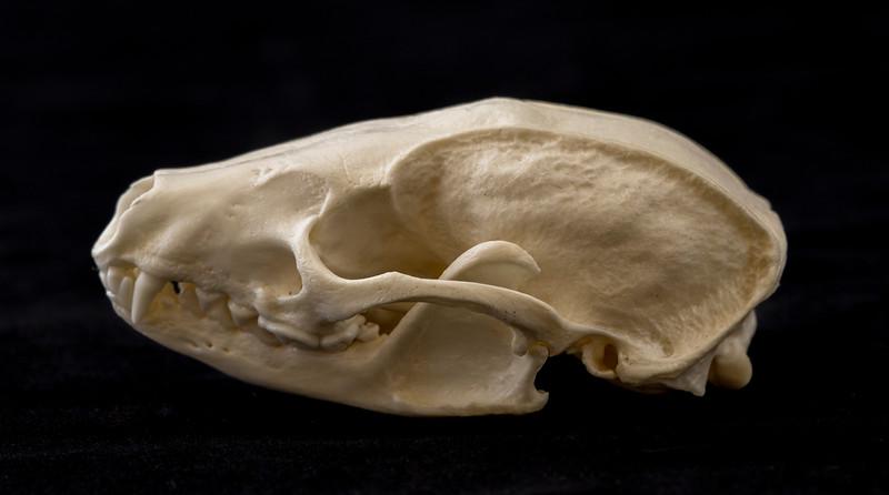Lateral View Javan Ferret Badger