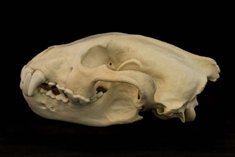 Lateral View Wolverine Skull