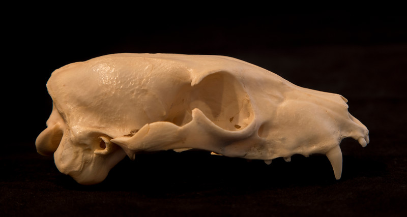 Lateral View Aardwolf Skull