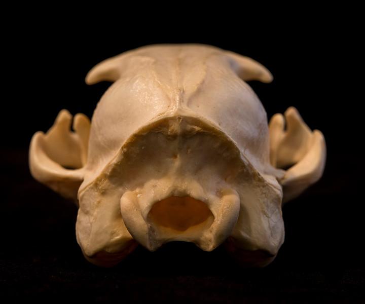 Posterior View Aardwolf Skull