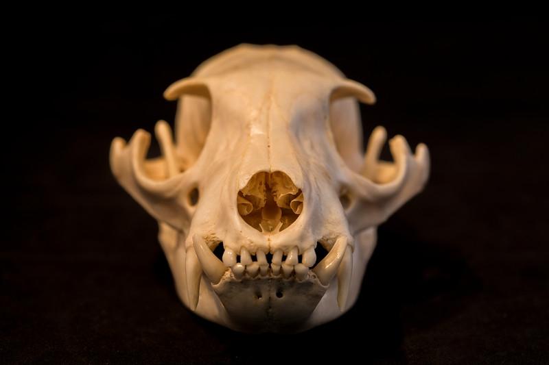 Anterior View Aardwolf Skull
