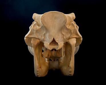 Posterior View Female Warthog Skull