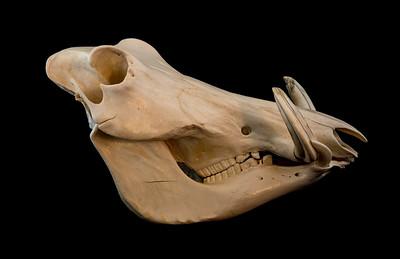 Lateral View Female Warthog Skull