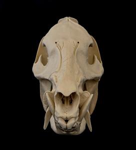 Anterior View Collared Peccary Skull