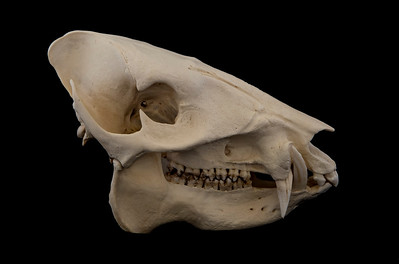 Lateral View Collared Peccary Skull