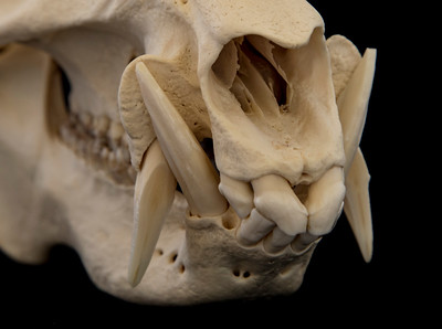 Close up View Canines and Incisors Collared Peccary Skull