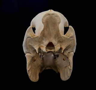 Posterior View Collared Peccary Skull