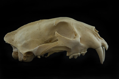 Lateral View Leopard Skull