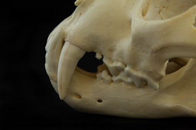 Lateral View Leopard Skull Dentition