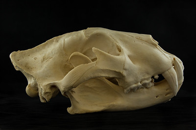Lateral View African Lion Skull
