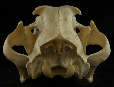 Posterior View African Lion Skull