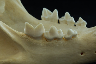 Lateral View African Lion Posterior Mandibular Teeth
