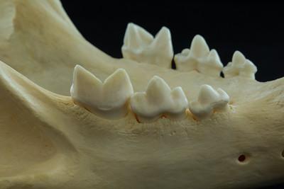 Lateral View African Lion Posterior Mandibular Teeth