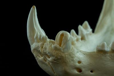 Naturally Fractured Mandibular Canine African Lion Skull