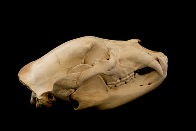 Lateral View Male Black Bear Skull