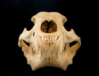 Anterior View Male Black Bear Skull